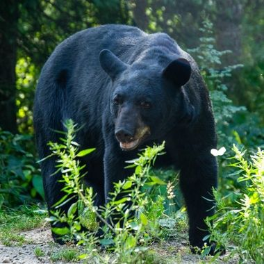 Standing in a ditch along side of a trail when this black bear abled up and posed! At least I hope that was all he was doing! (Not contemplating lunch)