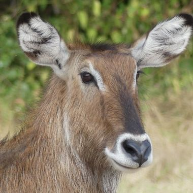 Water-Buck Female Portrait