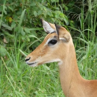 Impala Female Portrait