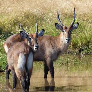 Young Water-Buck Rams