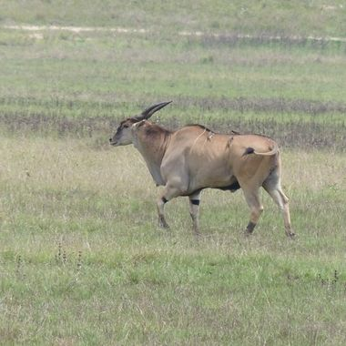 Eland & Red Billed Ox-pecker