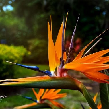 Bird of Paradise in Paradise