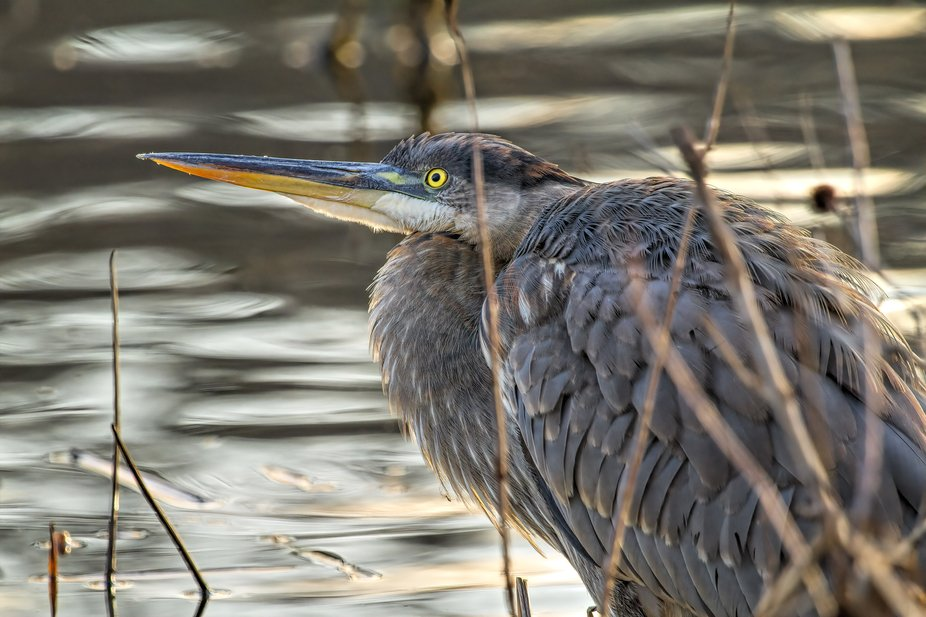 This Heron was watching a hawk fly overhead. So sharp you can see a spider in his chest feathers