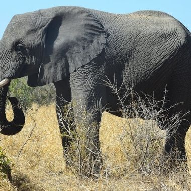 Elephant bull observed near Satara Rest Camp in Kruger National Park.