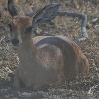 Steenbok ewe observed near Satara Rest Camp in Kruger National Park.