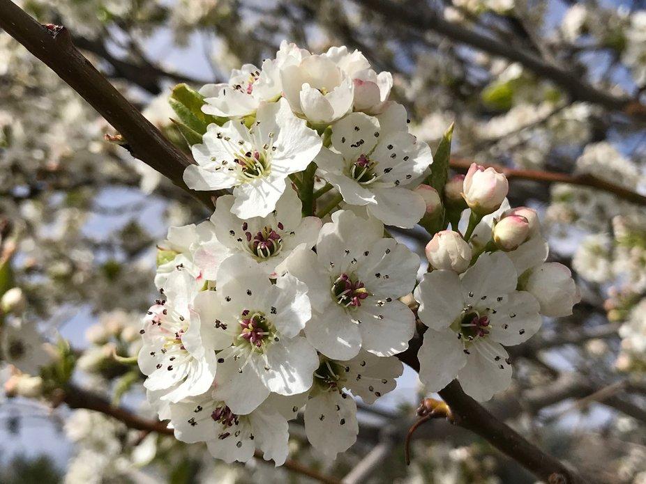 Blossom cluster