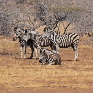 Group of Burchell's Zebras observed near Satara Rest Camp in Kruger National Park.