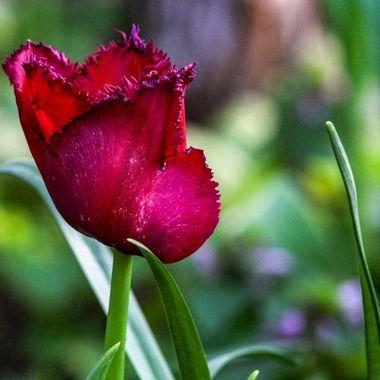 tulip-0469