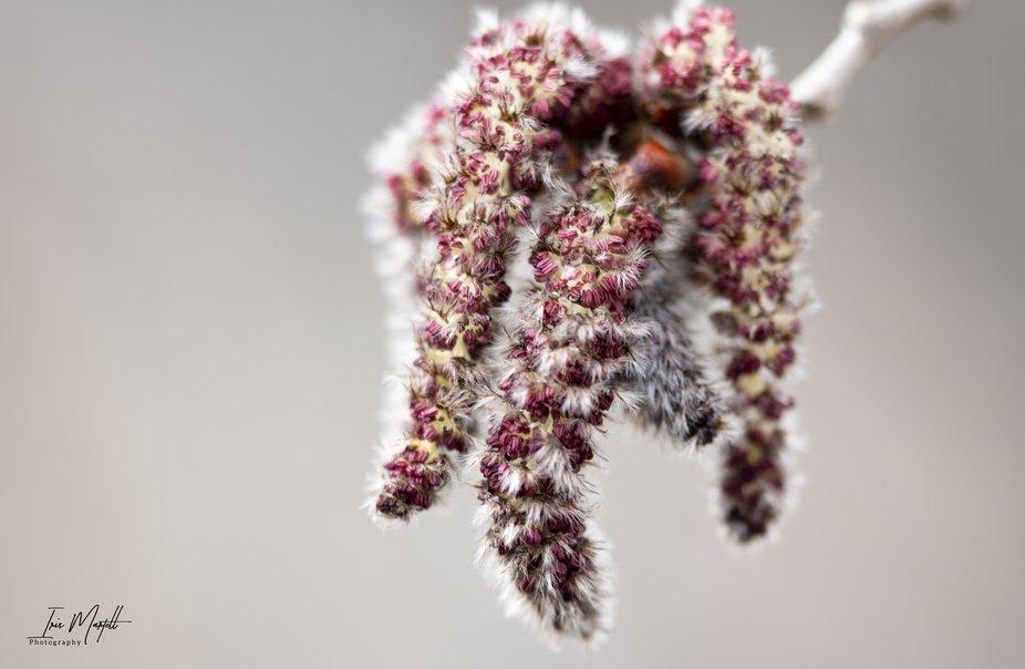 Aspen Poplar