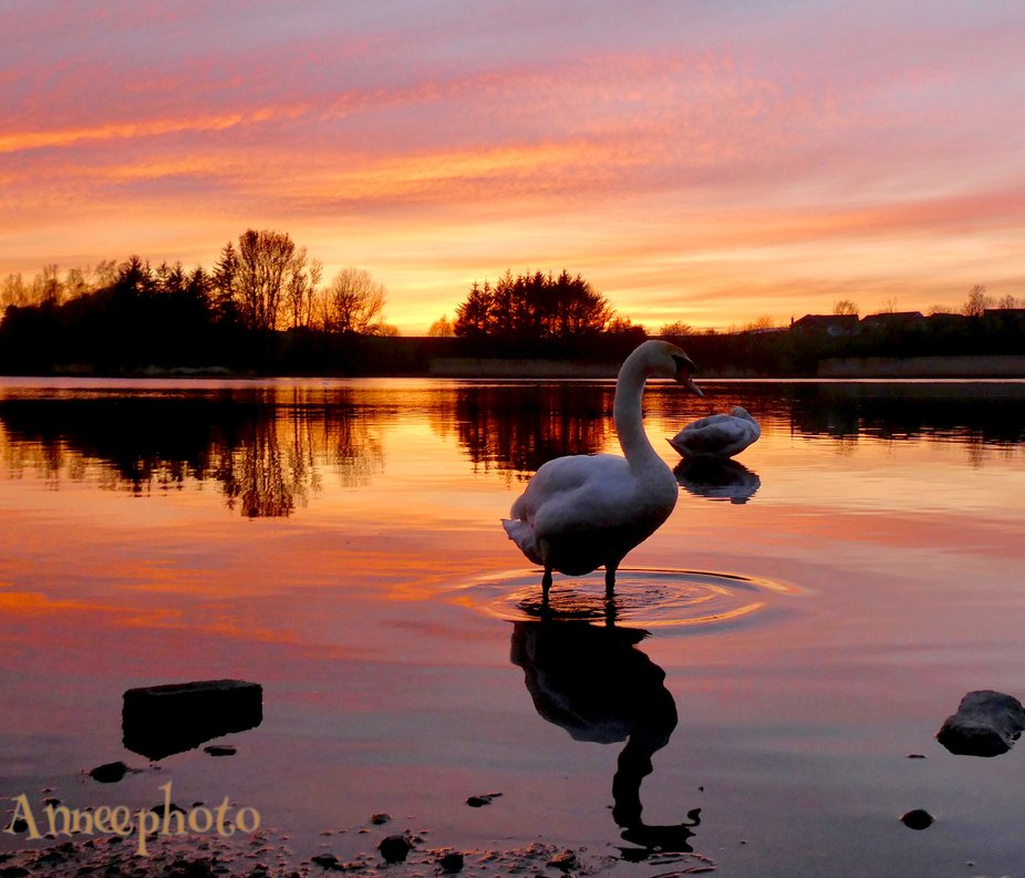 Swan delight