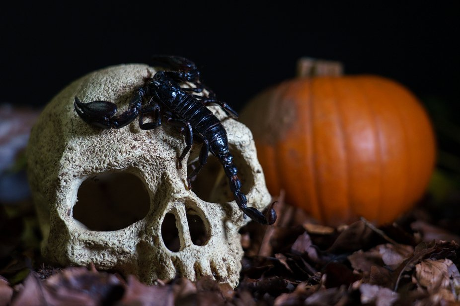 Scorpion featuring in a classic Halloween content photograph.