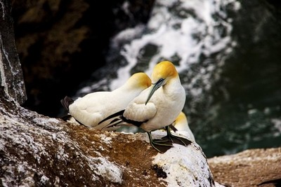 Gannets at Muriwai Colony