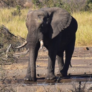 Elephant with broken tooth at waterhole near Letaba Rest Camp in Kruger National Park.