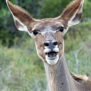 Kudu Cow Smile