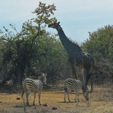 Giraffe and Burchell's Zebra observed near Letaba Rest Camp.