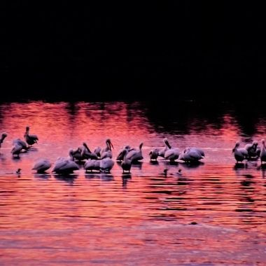 A Flock of pelicans settling in for the night, the last rays of a beautiful sunset left a pick glow around them that I loved!