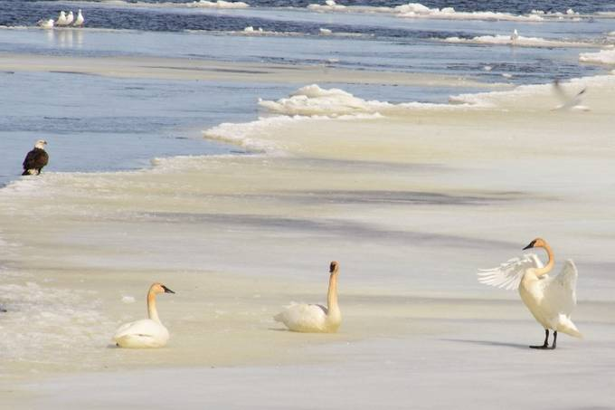 of the Trumpeter Swans, seagulls, eagle and ducks along the shores of the Rainy River near Ranier