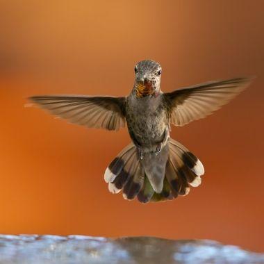 Anna's Hummingbird DSC07918