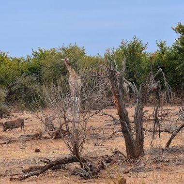 Landscape with Giraffe, Burchell's Zebra and Warthog near Mopani Rest Camp.