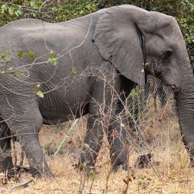 Elephant with one tooth completely broken off near Mooiplaas Picnic Site in Kruger National Park.