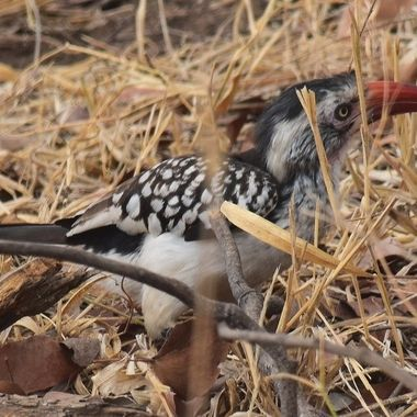 Southern Red-billed Hornbill observed near Mopani Rest Camp in Kruger National Park.