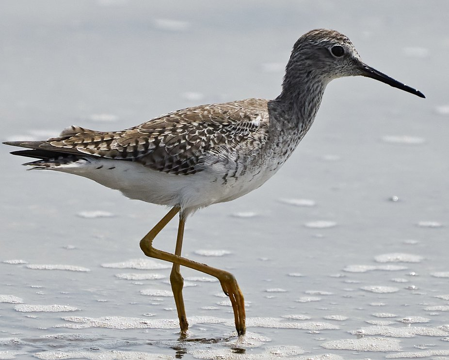 Lesser Yellowlegs portrait