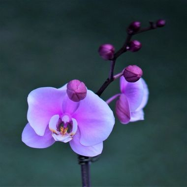 Orchids are like true love....  Beautiful, delicate, strong and last forever! ❤️
