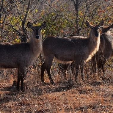 Waterbuck female herd observed near Mopani Rest Camp in Kruger National Park.