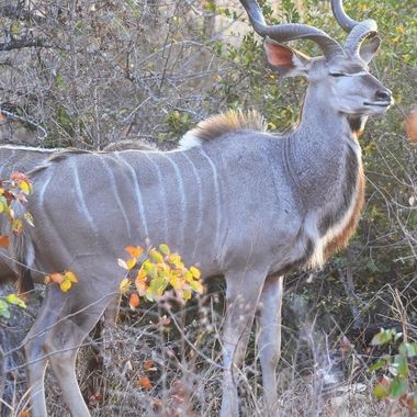 Kudu Bull observed near Shingwedzi Rest Camp in Kruger National Park.