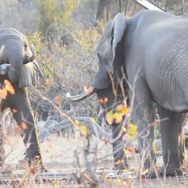Two Elephants at water supply point near Shingwedzi Rest Camp in Kruger National Park.