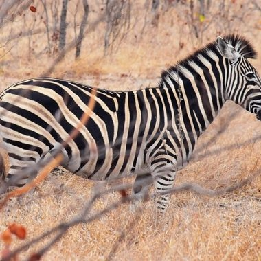 Burchell's Zebra spotted near Shingwedzi Rest Camp in Kruger National Park.
