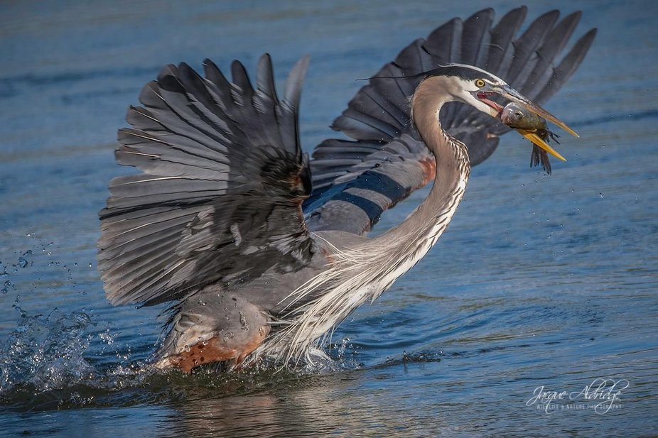 Great Blue Heron with a nice catch.