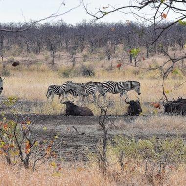 Landscape - Burchell's Zebra and Blue Wildebeest observed near Shingwedzi Rest Camp in Kruger National Park..