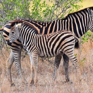 Burchell's mare and filly spotted near Shingwedzi Rest Camp in Kruger National Park.