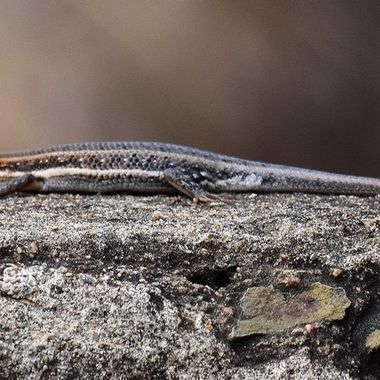 Cape Skink observed near Shingwedzi Rest camp in Kruger National Park.