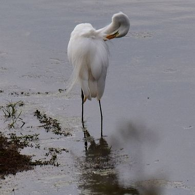 Great Egret observed at a waterhole near Shingwedzi Rest Camp in Kruger National Park.