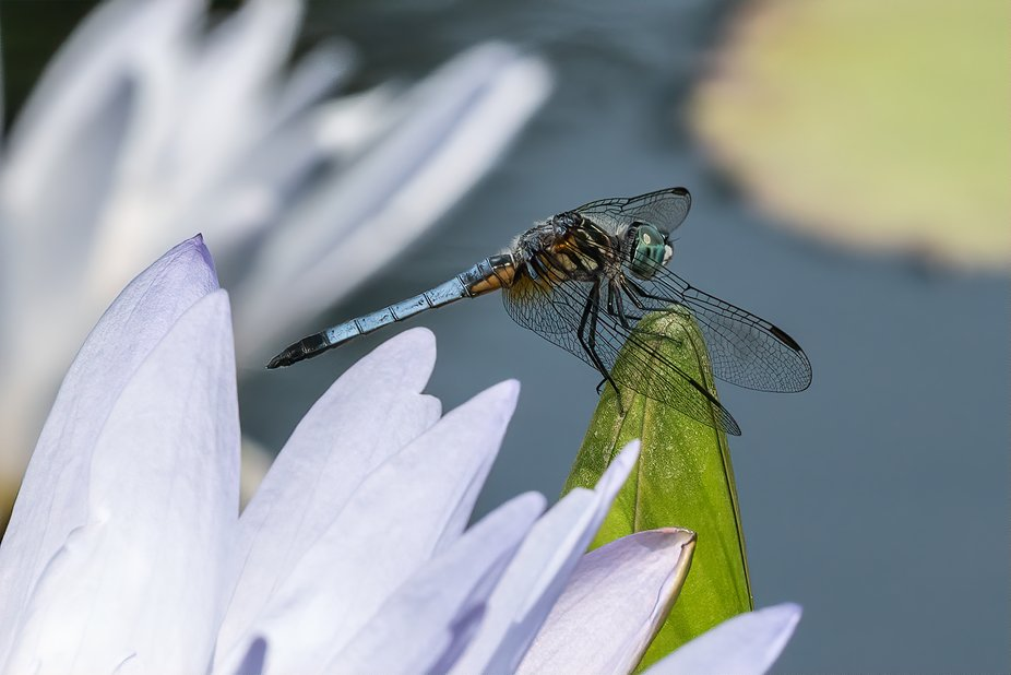 A dragonfly perched on a water lily at Longwood Gardens, Kennett Square, PA.