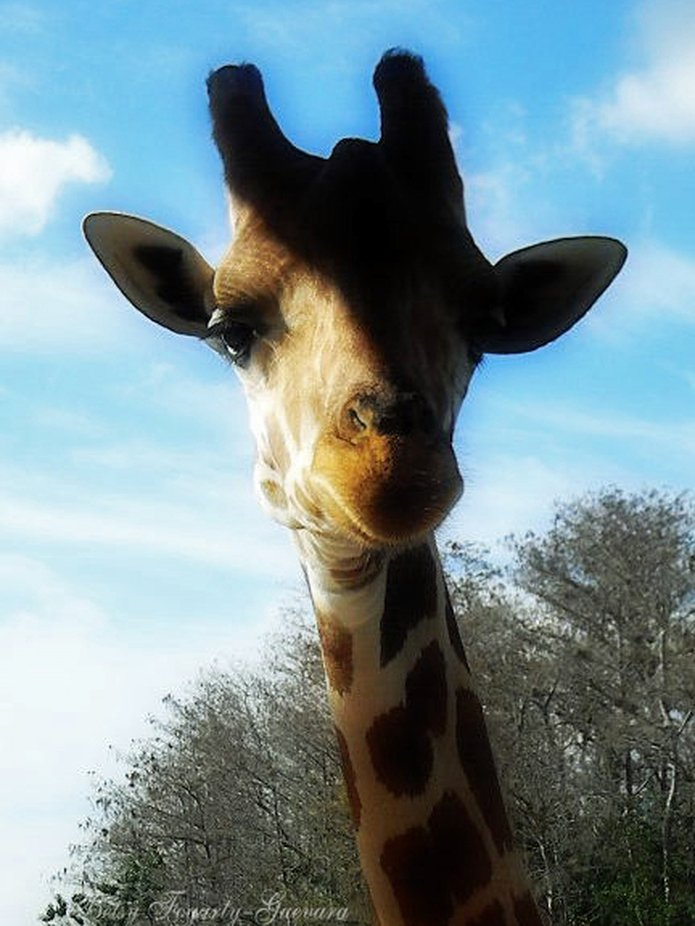 Giraffe - a Large African mammal with a very long neck and forelegs, having a coat patterned with brown patches separated by lighter lines. it is the tallest living animal