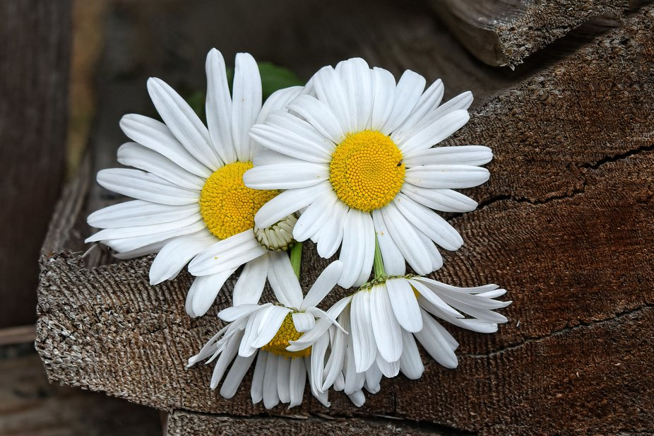 The daisies have it