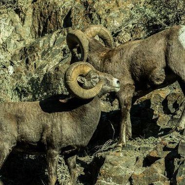 IMG_4681-2 Rocky Mtn Bighorn Sheep