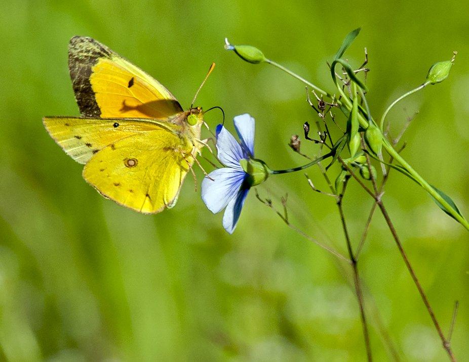 Orange Sulphur_Spring Creek Forest Preserve_Garland_TX_DET3762