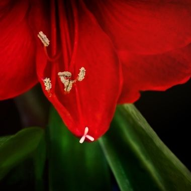Amaryllis Bloom 2020 NW