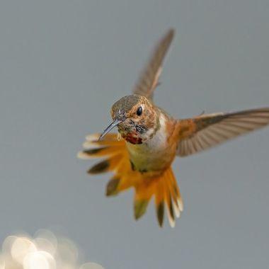 Allen's Hummingbird DSC05921