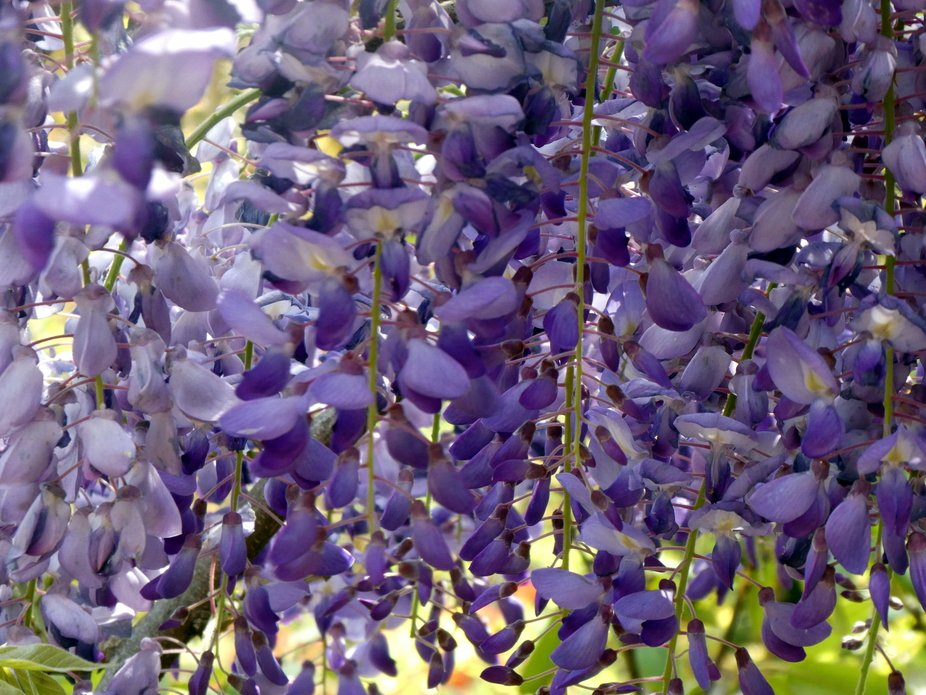 Deep In the wisteria