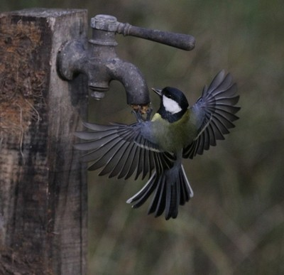 Great Tit Visting my old Tap Prop