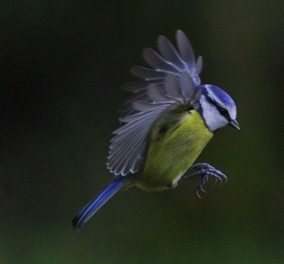 Blue Tit flying between my Feeders and a Tree