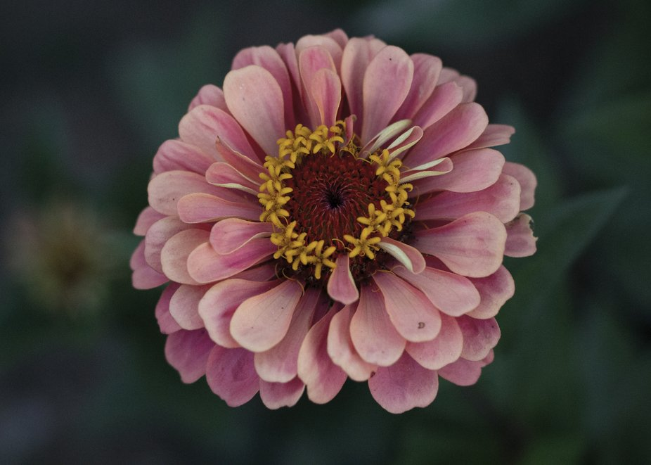 Pink Zinnia flower from my mother in laws garden.