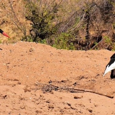 Two Saddle-billed Storks observed in Shingwedzi Riverbed in Kruger National Park.