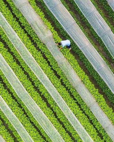A farmer taking care of his vegetable farm outside Hanoi, Vietnam
