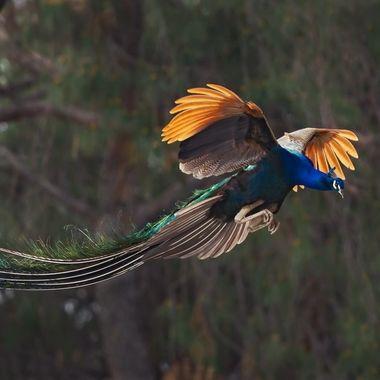 Peacock DSC09878